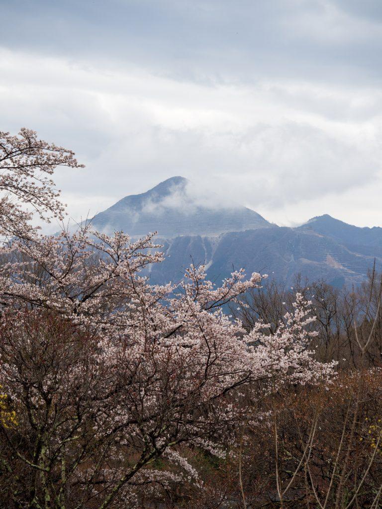 武甲山と桜