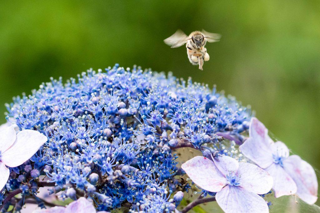 あじさいとハチ