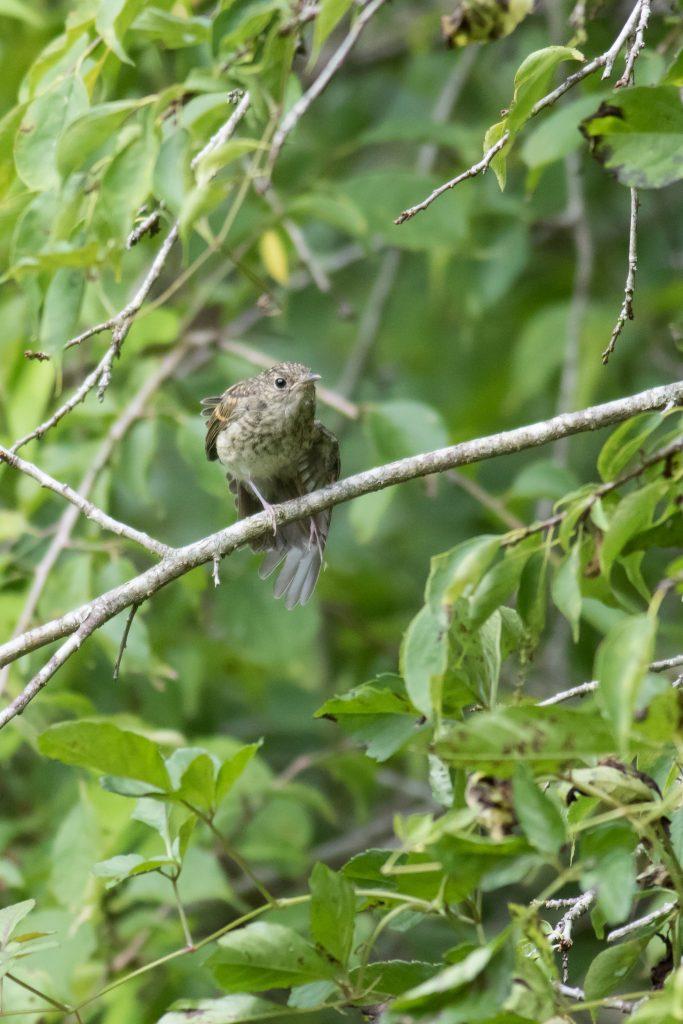 枝に止まっているキビタキの幼鳥