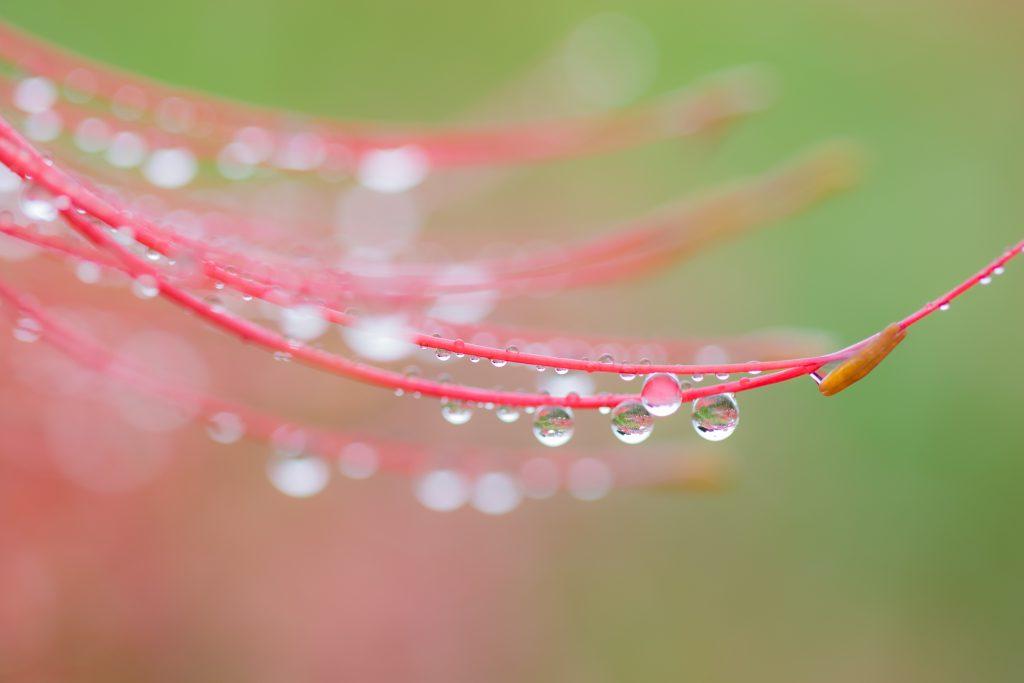 雨粒のついた彼岸花