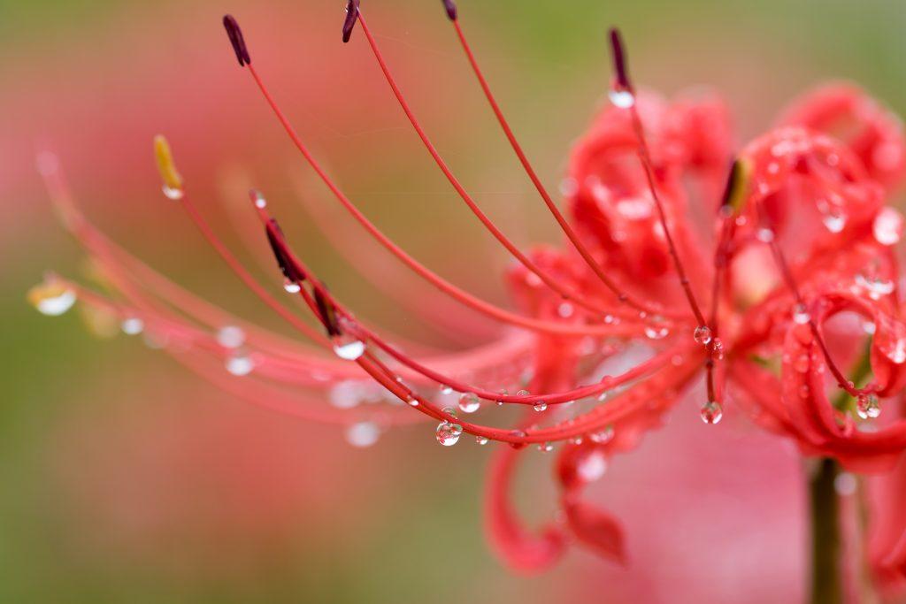 雨粒がついたヒガンバナ