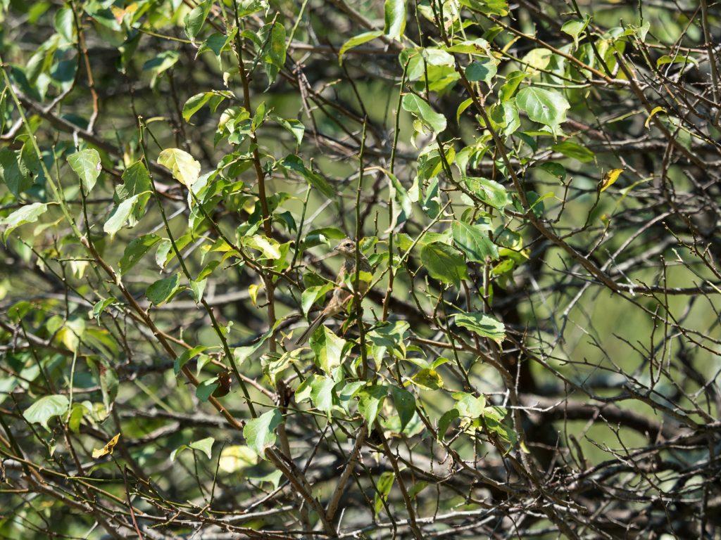 木に止まっているホオジロの幼鳥