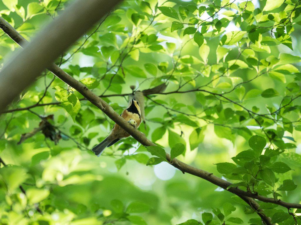 枝にとまっているヤマガラ