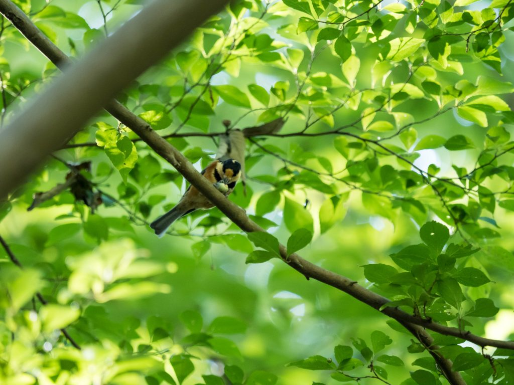枝に止まって実をつっついていヤマガラ