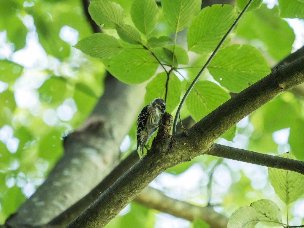 木をつっつくコゲラ