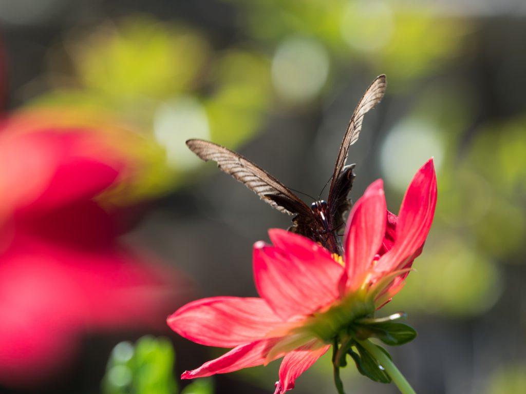 赤いダリアにとまっている黒い蝶