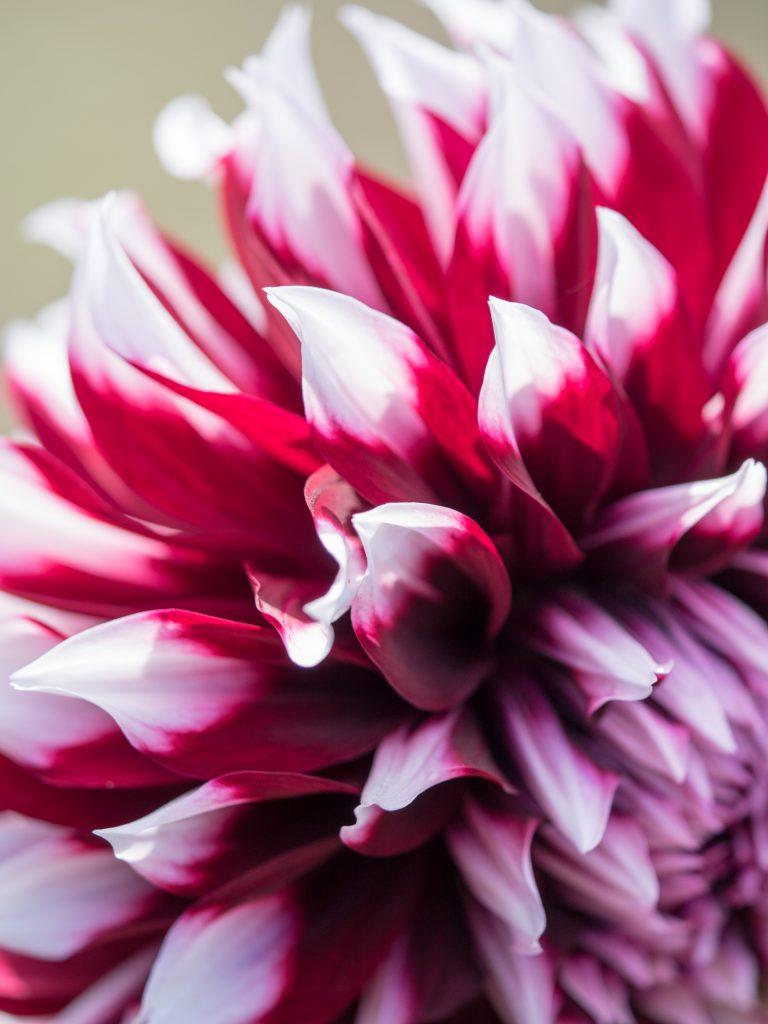 白と赤の花びらのダリア