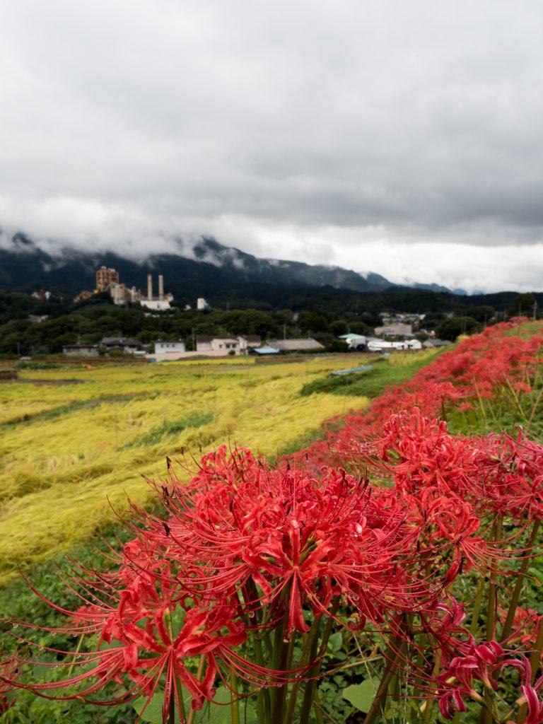 彼岸花が咲いている棚田の風景