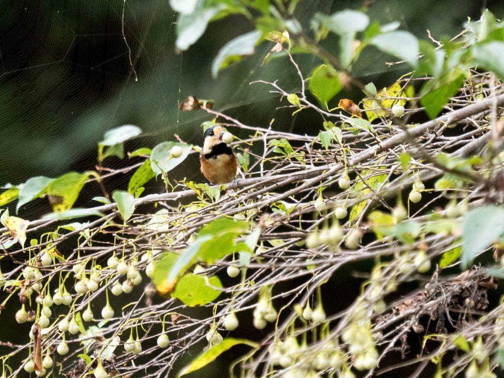 木にとまってエゴノキの実をくわえているヤマガラ