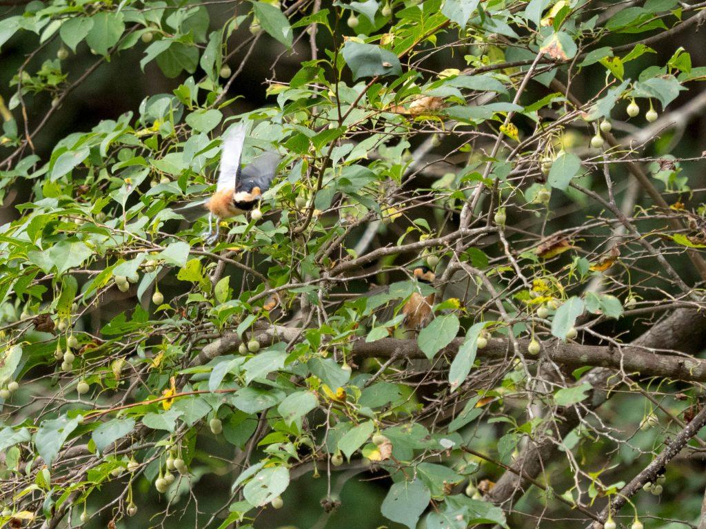 エゴノキの実をくわえて飛ぶヤマガラ
