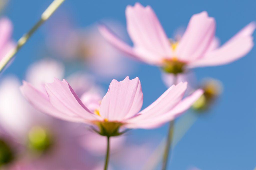 まとまって咲いているコスモス
