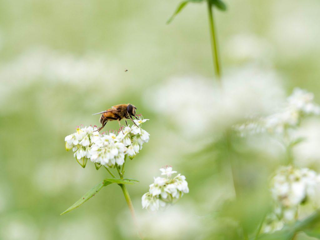 そばの花とハチ