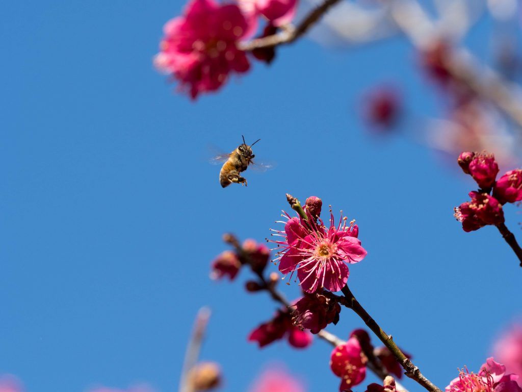 紅梅とハチ