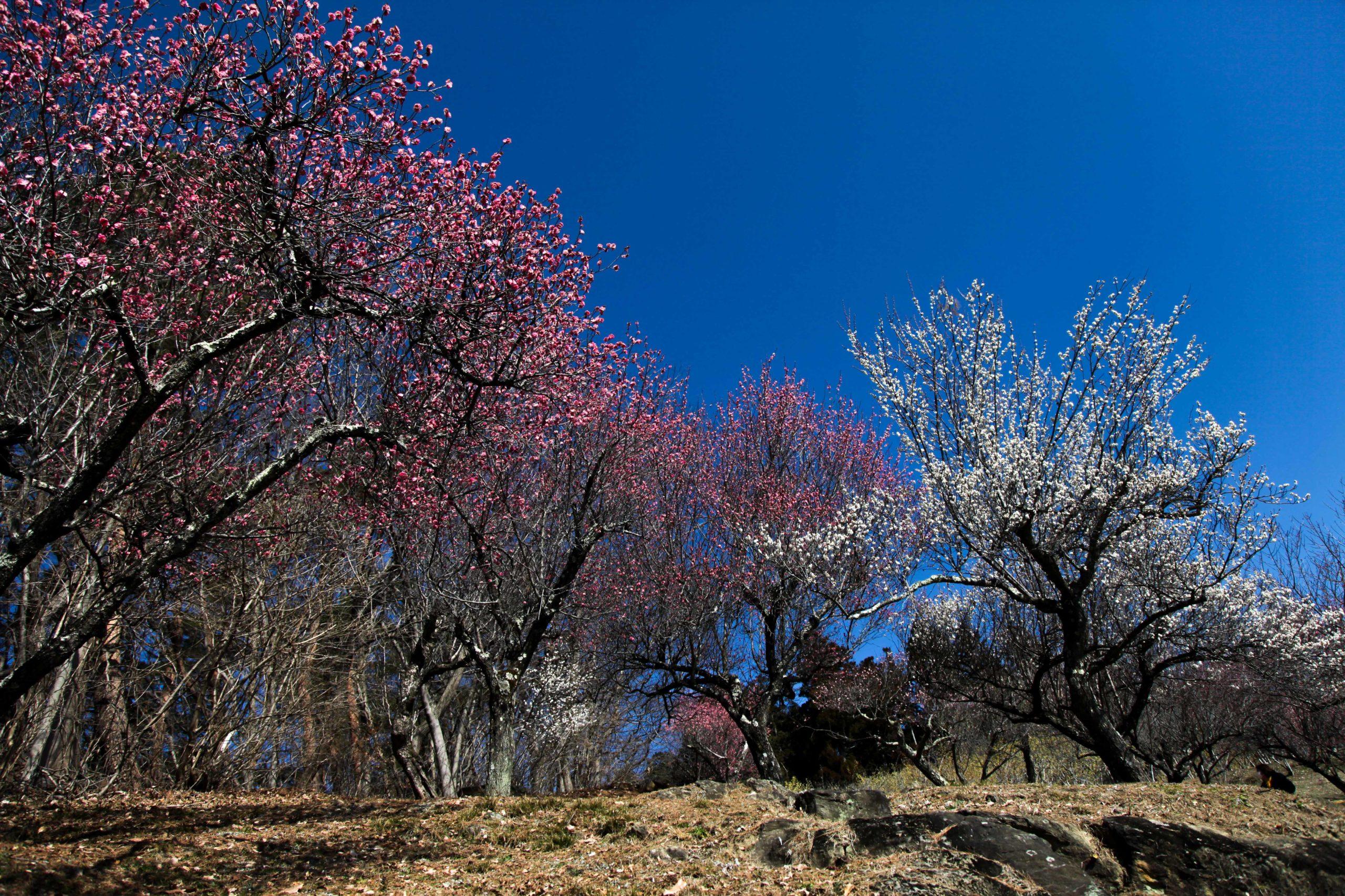 【2020】長瀞の宝登山梅百花園の開花状況や駐車場&山頂への行き方