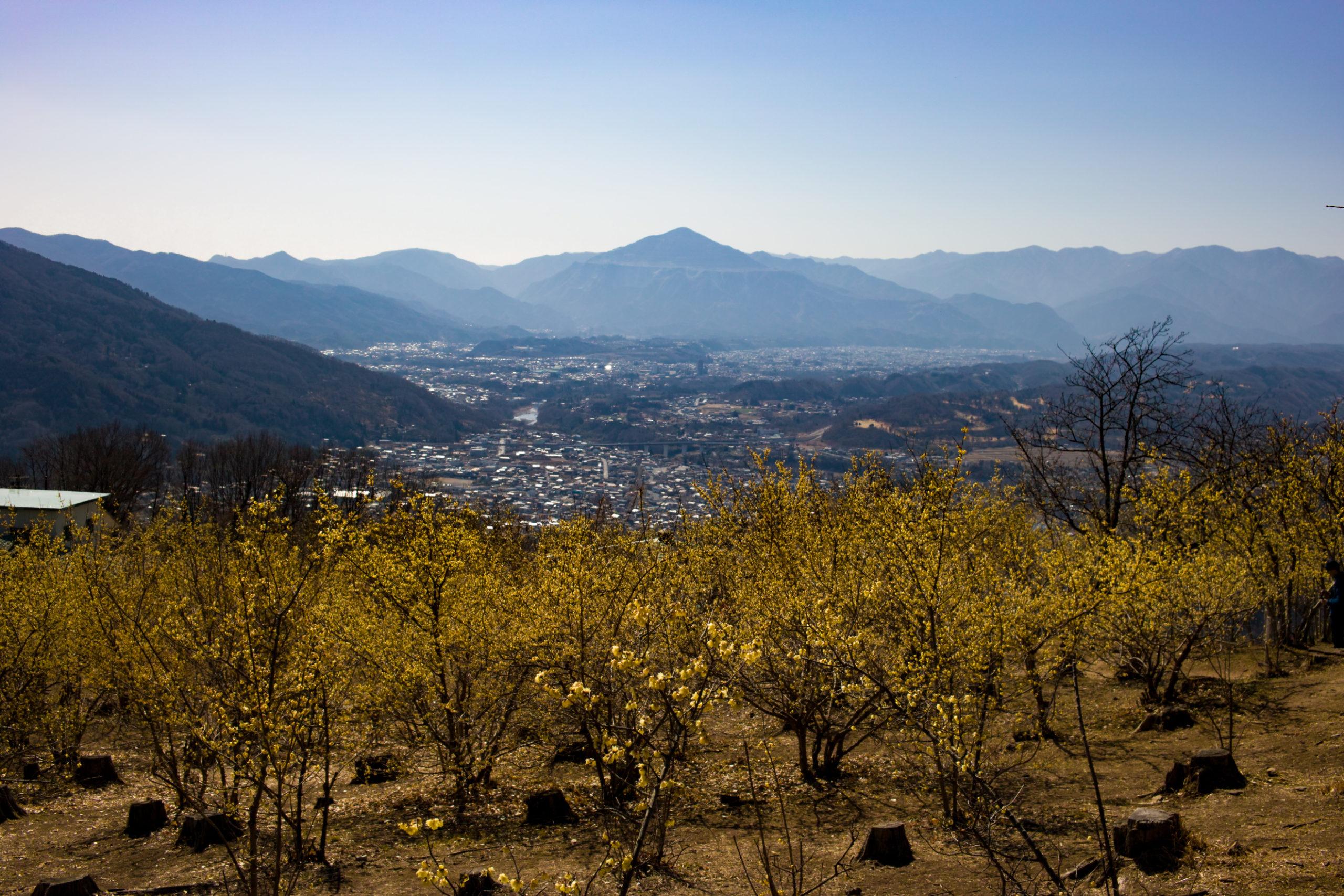 ロウバイと武甲山