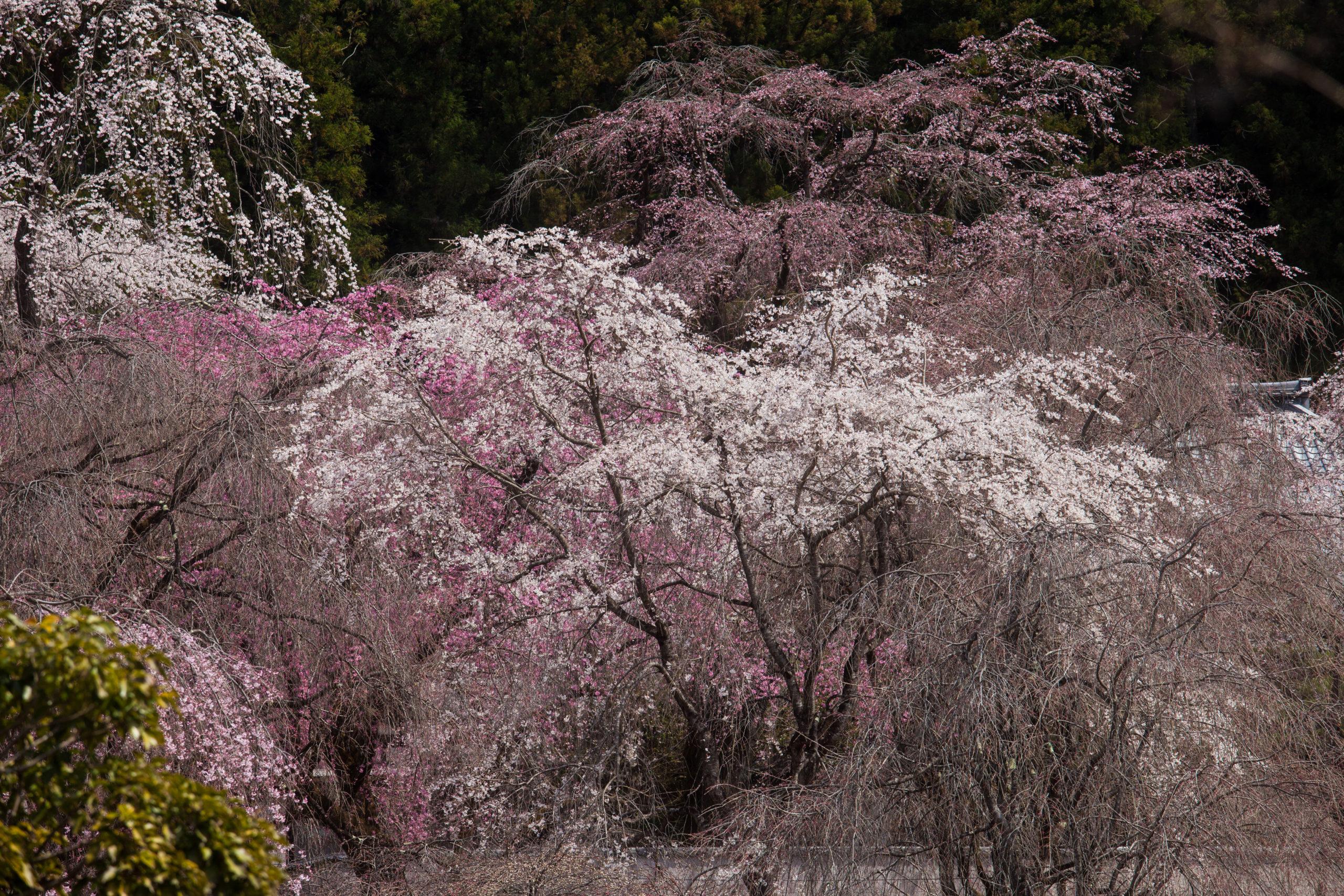 【2020】秩父市荒川の清雲寺のしだれ桜の開花状況