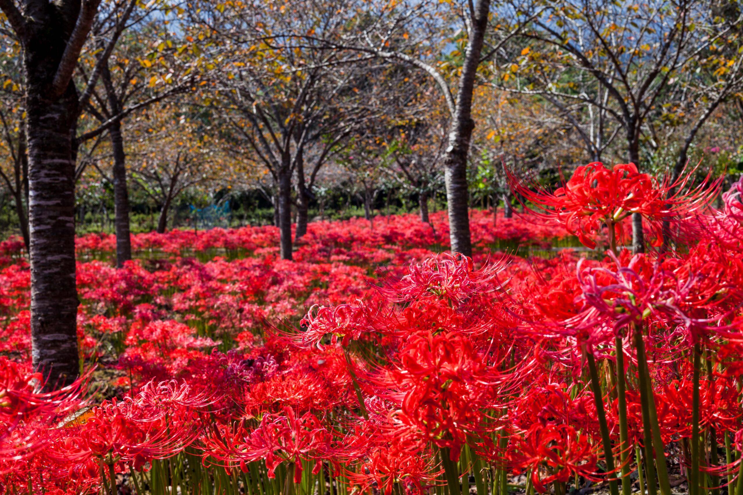 秩父『深山の花園』の彼岸花が凄かった!駐車場や見頃は?