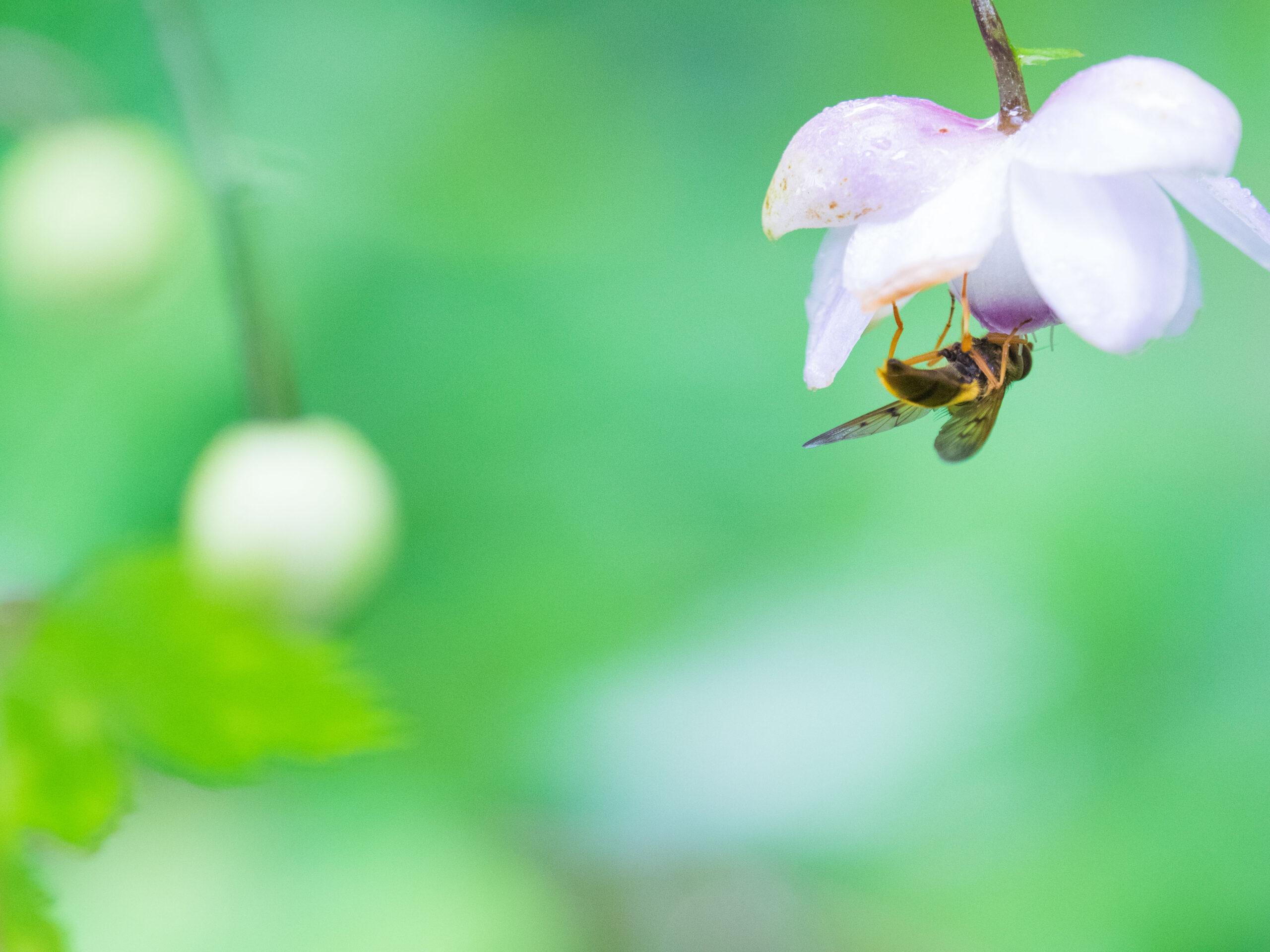 【2022年用】埼玉県民の森でのレンゲショウマの2021年開花状況まとめ